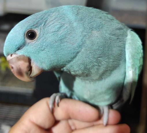 Ring Neck fêmea azul domesticada