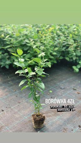 Borówka Amerykańska Rośliny 2 letnie. Dostawa gratis