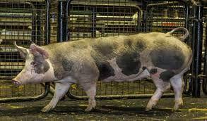 Свині продам Свині продам Свині продам
