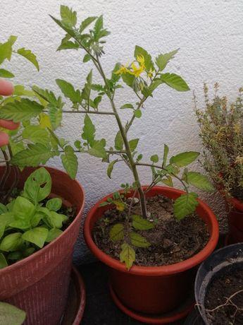 Tomateiro cherry (já com flor!)