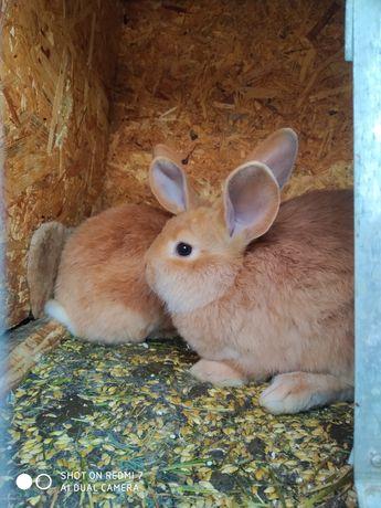 Кролики Бургундии малыши и другие