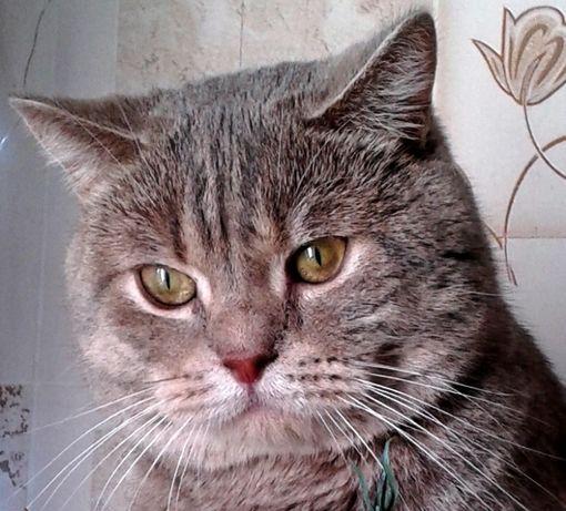 Шотландский котик ищет подружку