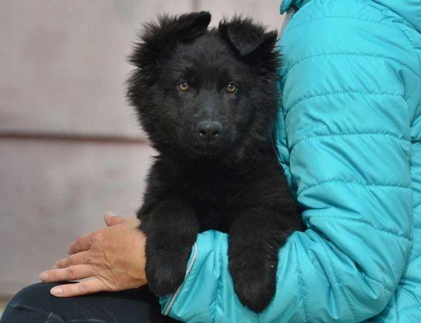 щенок немецкой овчарки, черный кобель, неполные 3 мес