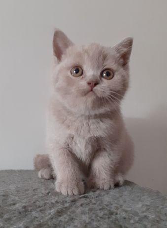 Kocięta brytyjskie kotka brytyjska Bri c