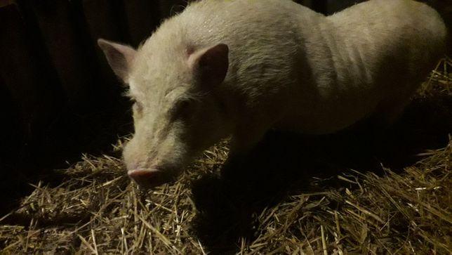 Prosiak, świniak mikro angielski