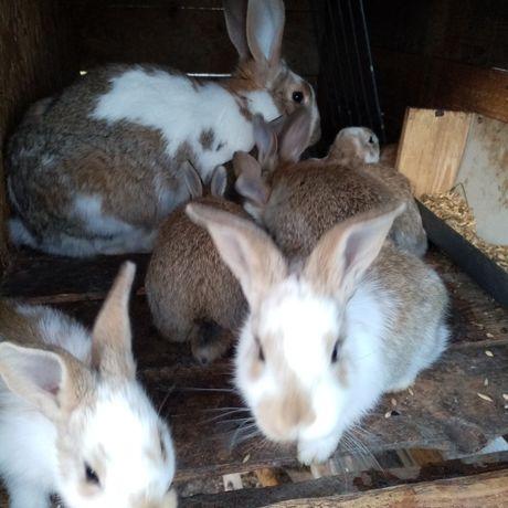 Młode króliki mieszance