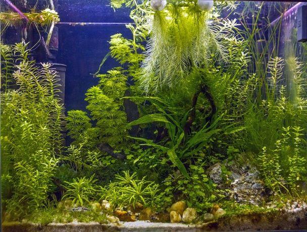 Zestaw łatwych roślin łodygowych do akwarium - L. + gratis wysyłka