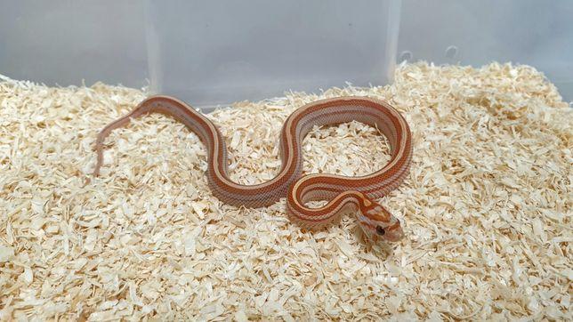 Wąż zbożowy / hybryda 25% emoryi