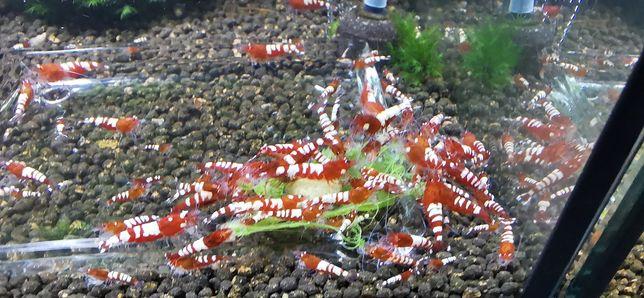 (*OFERTA ENVIO) Camarões Caridina Red Pinto Zebra/Multistripes