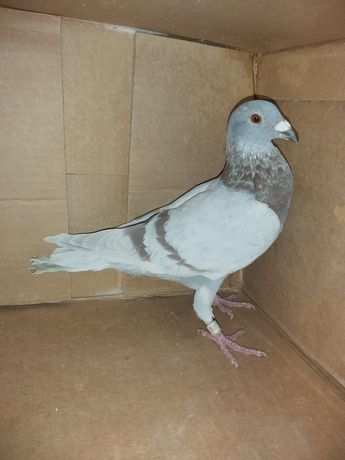 Gołębie Pocztowe samiec