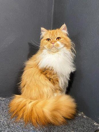 Яркий шотландский породистый котик для любимых