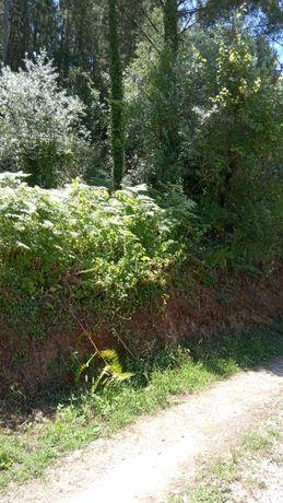 Pinhal com pinheiros prontos a cortar