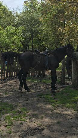 Кінь Ганноверський в'язка (конь, Ганновер)