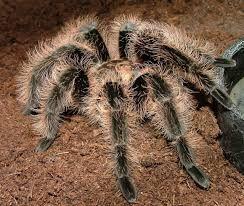 брахипельма альбопилозум brachypelma паук птицеед тарантул павук нович