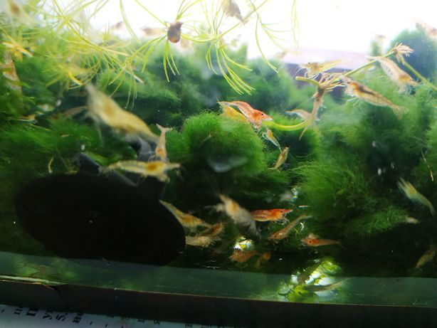Аквариумные креветки корм Дафни