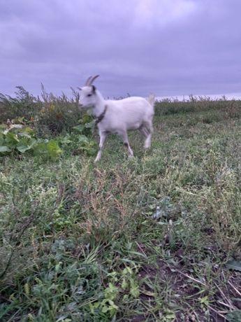 Продам кози, пів року