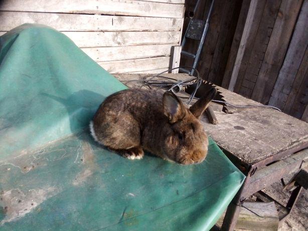 króliki wiedeńskie szare