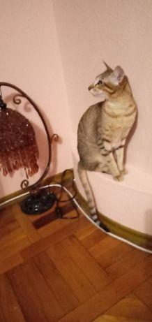 кот для вязки ориентальной кошки