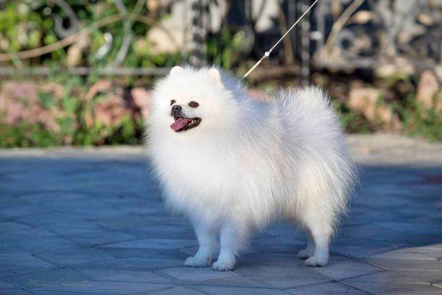 Suczka szpic miniaturowy Pomeranian