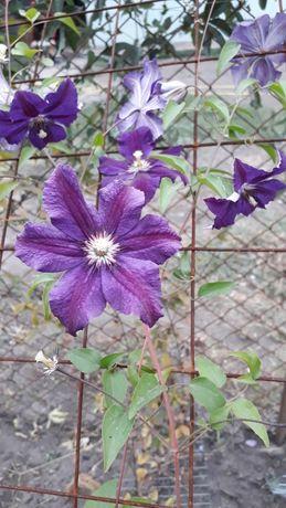 Растение,лиана,клематис