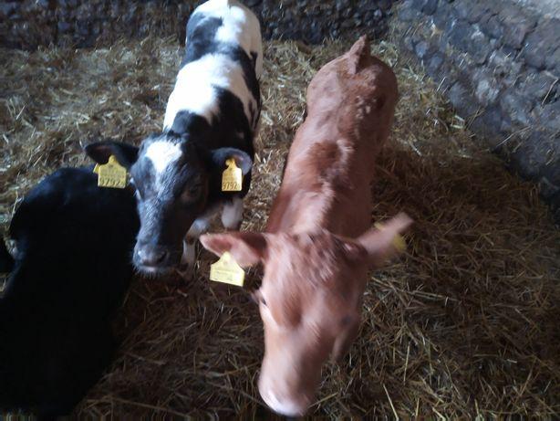 Kisielnica byczki