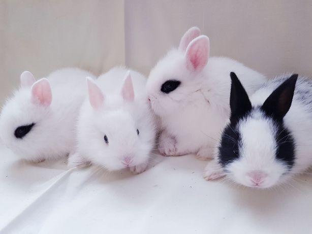 Malutkie Królik króliki miniaturka miniaturki karzełek karzełki