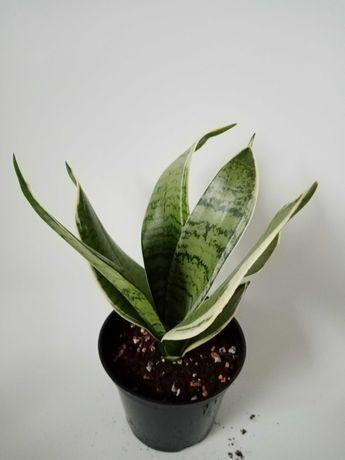 Sansevieria hahnii Silver Marginata, sansewieria roślina doniczkowa