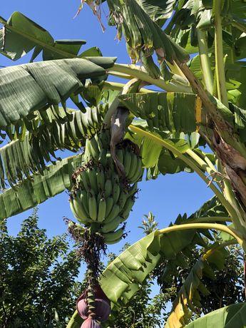 Bananeiras Para Plantar (a dar fruto ha 6 anos)
