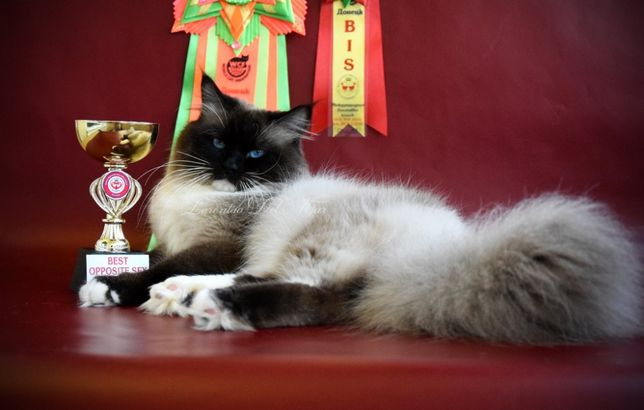Чистокровные Невские Маскарадные котята из питомника