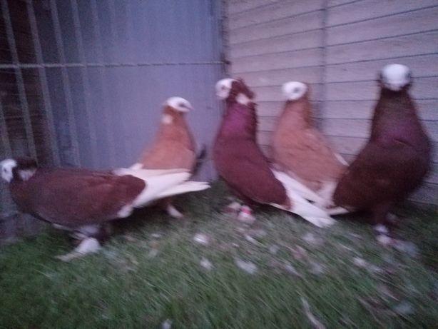 Gołębie. Wajskopy. Białogłowa Gumbinska 2