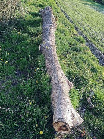 Orzech włoski drzewo