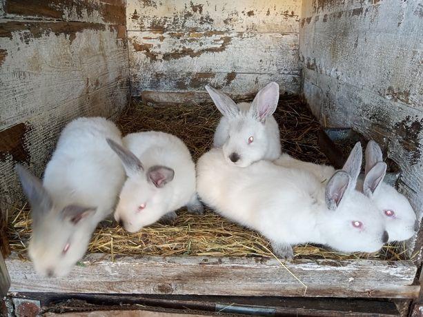 królik, króliki, samice