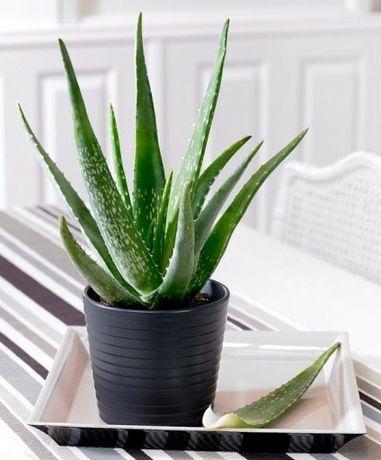 Sadzonki Aloes Aloe Vera