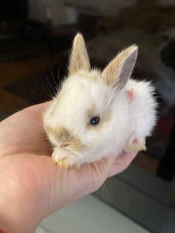 Кролик декоративный мини