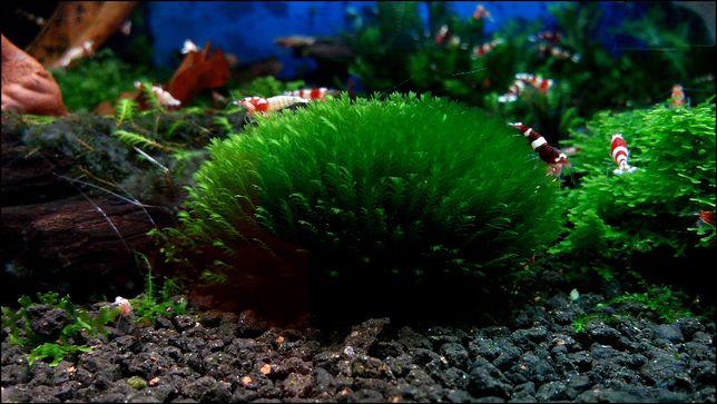 mech fissidens splachnobryoides na łupinie kokosa -ozdoba do akwarium,