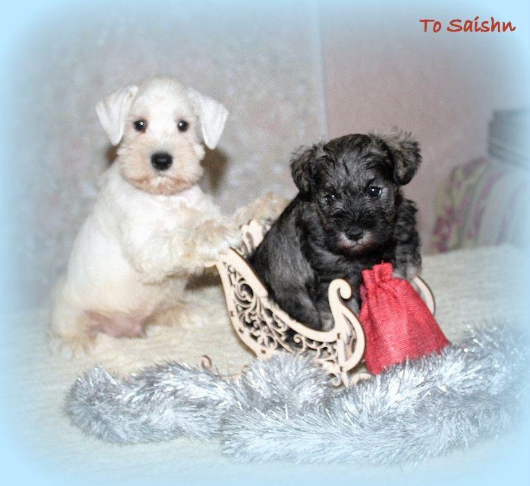 Замечательные щенки цвергшнауцера из питомника.