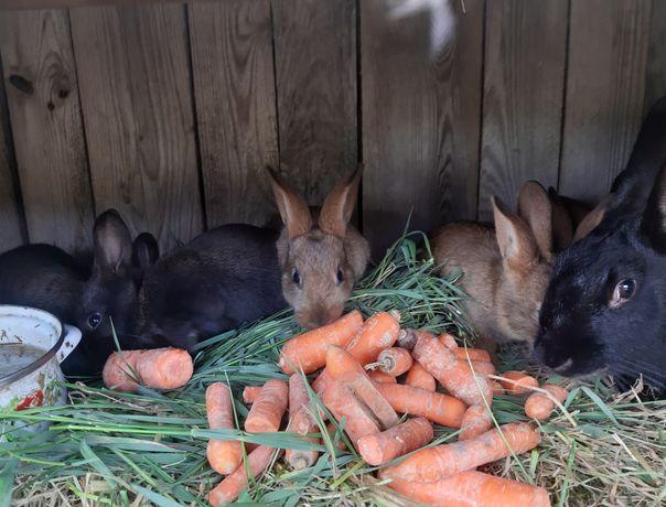 króliki sprzedam