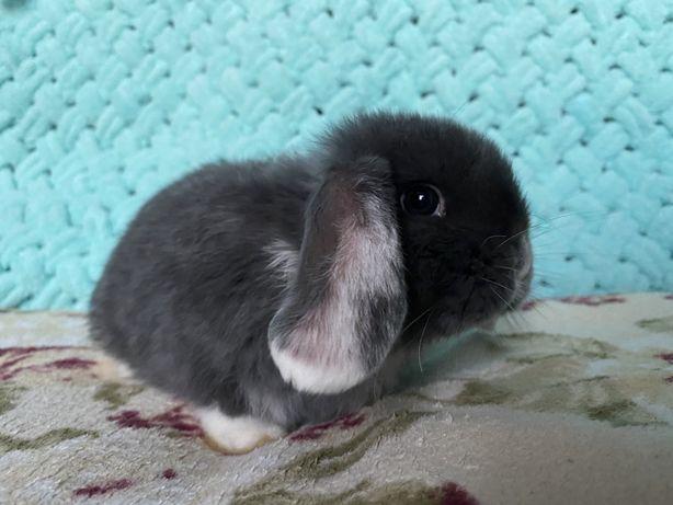Вислоухий карликовый кролик в голубой шубке