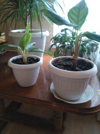 Аглаонема, комнатное растение