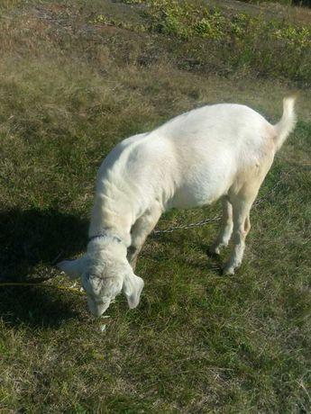 Вязка коз, нубийским козлом