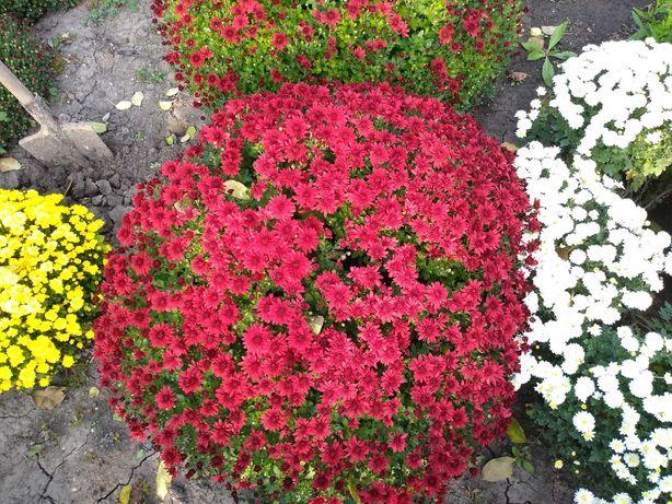 Продам хризантемы, сентябрины