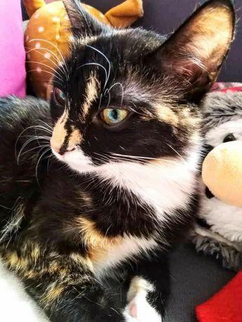 Lucy przemiła kotka koteczka trikolorka szuka domu swojego człowieka