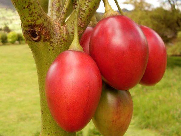 Sementes Tamarilho Tomate Brasileiro Ingles Japones DeÁrvore FrutoRaro