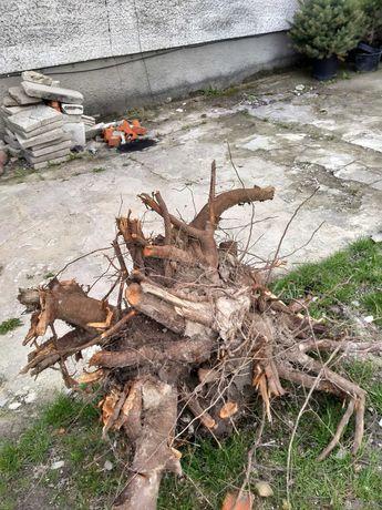 Oddam korzenie oraz trociny