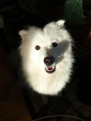 Самоед , пропала собака
