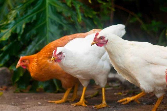 Инкубационное яйцо бройлеров, мясо-яичных, несушка