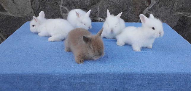 Карликові декоратині кролик, декоративний кролик