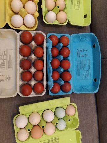 Jaja lęgowe Maransów