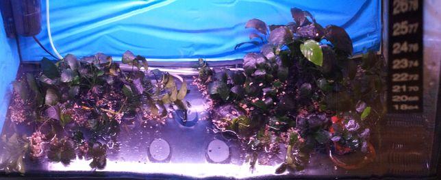 Anubia nana aquario agua quente