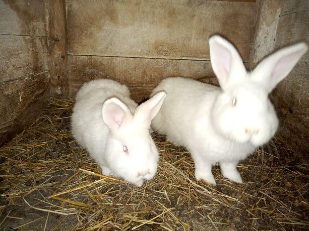 młode króliki nowozeland, samce, samice, NB,królik nowozelandzki